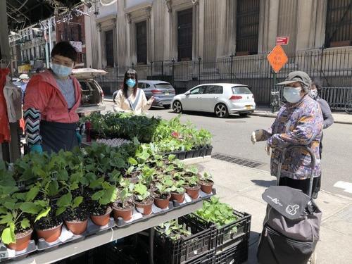 居家避疫兴起种菜热纽约华人摆摊卖菜苗生意火