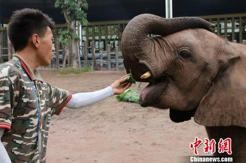 中国侨网图为饲养员给非洲象喂由粽叶包裹玉米粒做成的小粽子。 韩璐 摄