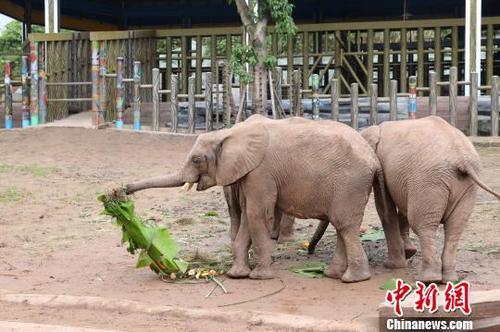 中国侨网第一次享用这么豪华的大粽子,非洲象刚开始走到大粽子边的时候还有些不知所措。图为非洲象吃粽子。 韩璐 摄