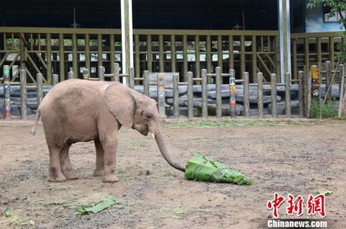 中国侨网图为非洲象吃水果蔬菜粽子。 韩璐 摄