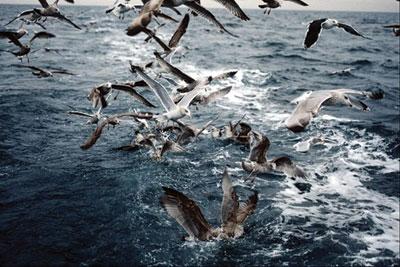 在二战中,英国皇家海军训练海鸥参与反潜战