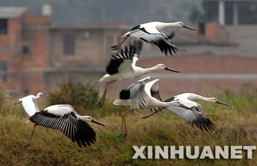 濒危鸟类东方白鹳现身福州乡村