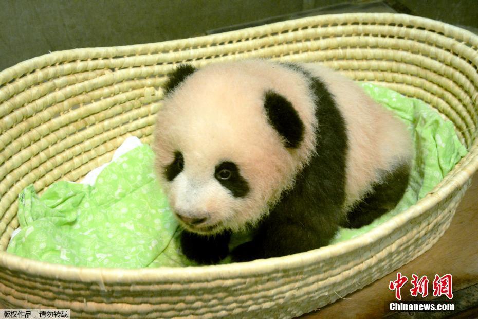 """日本新生大熊猫被命名""""香香"""""""