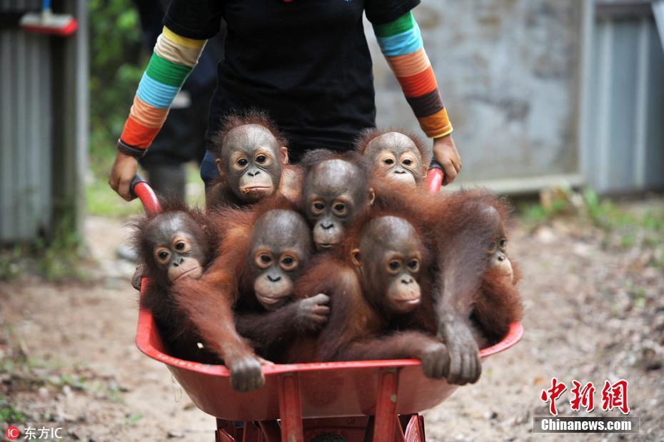 印尼猩猩幼崽坐手推车上学