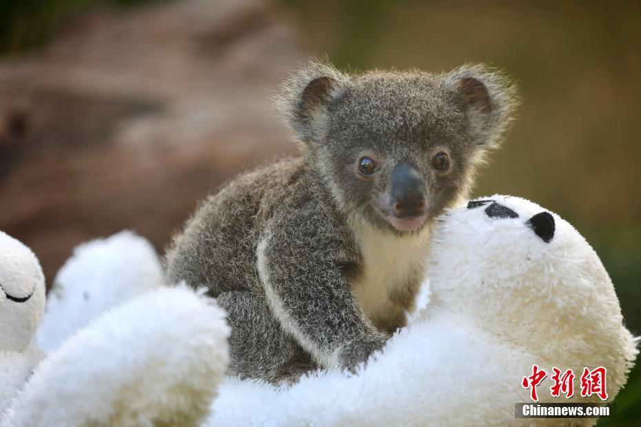 澳大利亚动物园迎来9只新生考拉