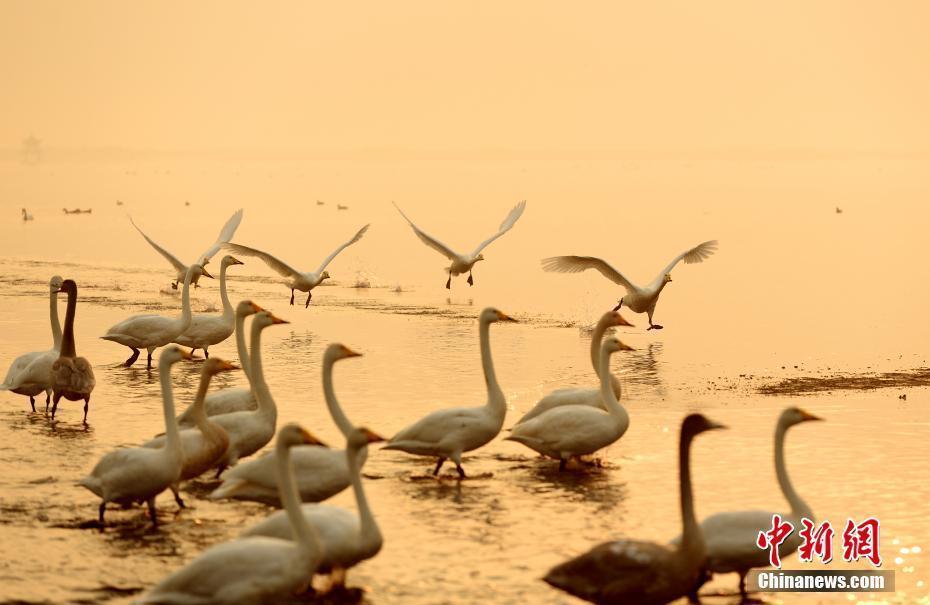 山东滨海小城天鹅湖畔天鹅归