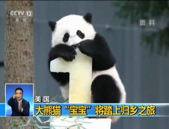 旅美熊猫宝宝将启归乡之旅