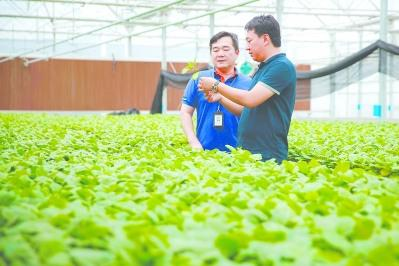 中国侨网在位于厦门市同安区的百利现代农业科技园内,康英德和来自台湾的技术总监曾明宝行走在玻璃育苗棚之间。