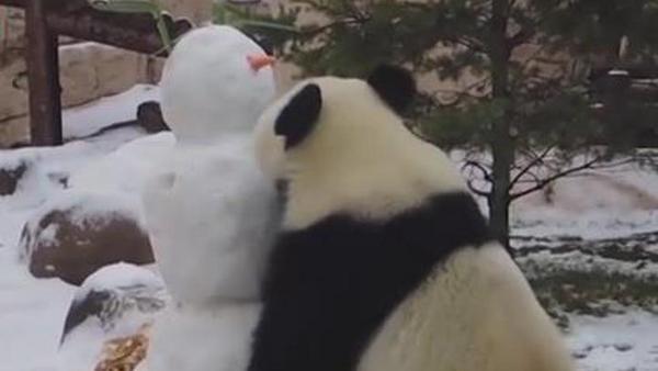 """旅俄大熊猫遇到新""""伙伴"""""""