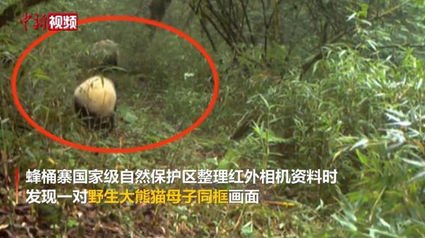 野生大熊猫母子同框出镜
