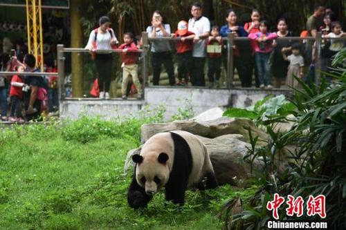 中国侨网深圳野生动物园大熊猫秋浜首次出外场活动,吸引了众多游客
