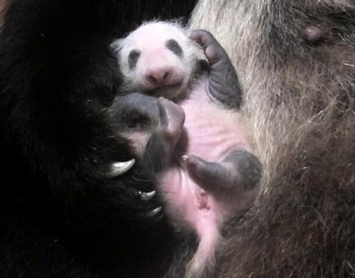 东京动物园大熊猫幼崽茁壮成长 毛发已黑白分明