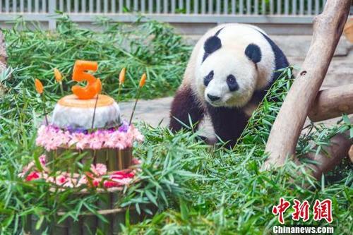 江苏南山竹海大熊猫欢乐庆生萌翻众人