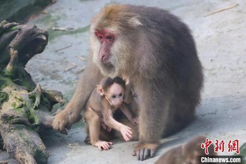 图为藏酋猴母亲抱着孩子正在室外晒太阳。 王成杰 摄
