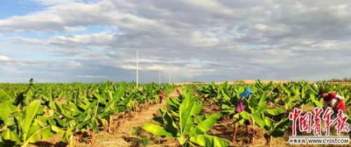 图为福地农场尚未结果的香蕉林。